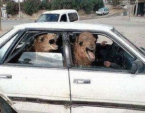 В Кургане владелец зоопарка бросил верблюдов, тигров, медведя и других животных на чужой автостоянке.