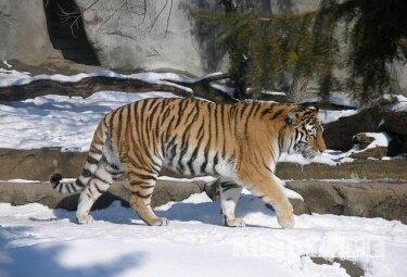 В Хабаровском крае посчитали половину тигриных маршрутов