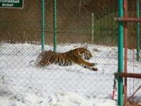 В Приморье тигров охраняют «летучие» бригады