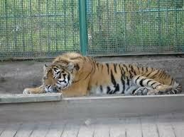 Резвый тигр отправлен сафари-парк Приморья