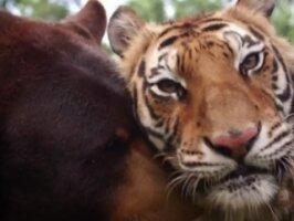 Тигр и медведь подружились в рекламных целях