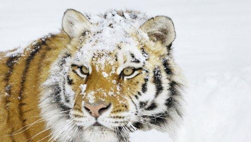 На Дальнем Востоке началась перепись амурских тигров