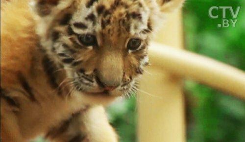Популяция тигров в Индии с 2010 года выросла на 30%