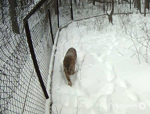 Споры из-за ошейника мешают выпустить тигра Упорного на волю в Хабаровском крае