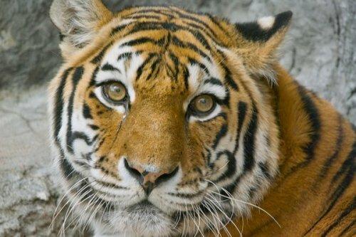 В Нальчик приехала тигрица