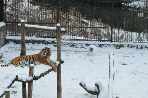 Амурская тигрица из калининградского зоопарка научилась лепить снеговиков