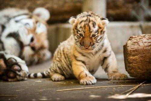 Цирковая тигрица родила трёх тигрят во время гастролей в Томске