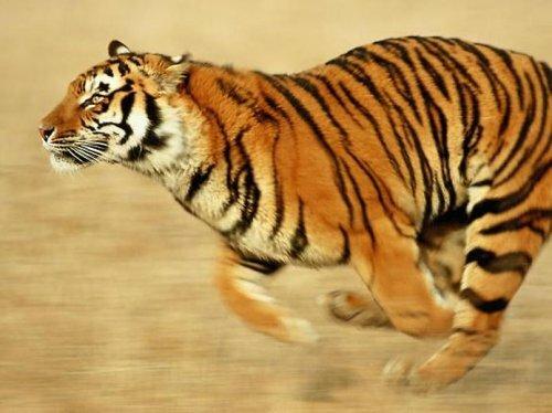 Прокуратура расследует дело о появлении мяса тигра в ресторанах Москвы