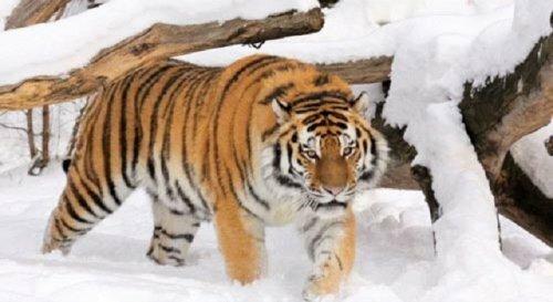 Тигра-бродягу приютил ростовский зоопарк