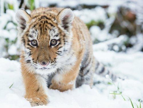 Минприроды и WWF договорились о стратегии сохранения амурского тигра