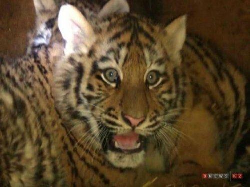 В зоопарке Караганды впервые родились амурские тигрята-двойняшки
