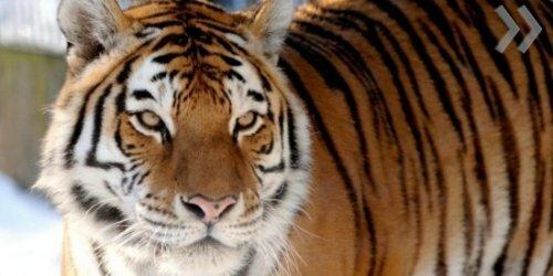 Рижская тигромания