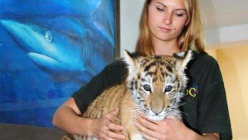 Первый амурский тигр-киприот чувствует себя хорошо