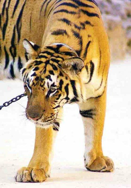 В «Храме тигров» не нашли нарушений