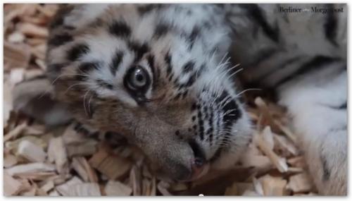 Амурские тигрята Алиша и Драгон в немецком зоопарке Эберсвальд
