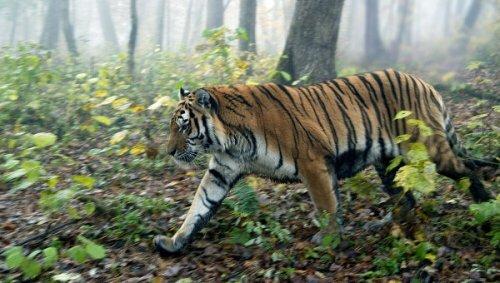 Тигрицу Кассандру привезли в Приморье для уникального эксперимента