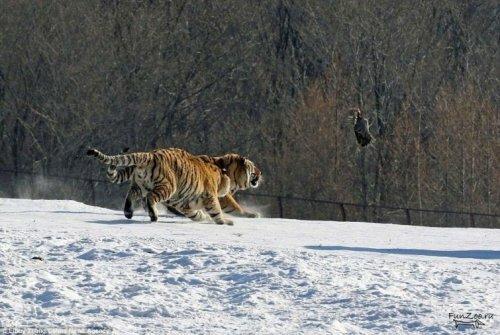 Промах тигра