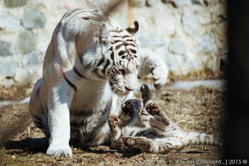 Белый тигренок с мамой в Новосибирском зоопарке