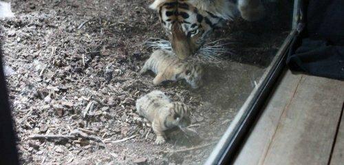 У амурской тигрицы из норвежского зоопарка появилось потомство