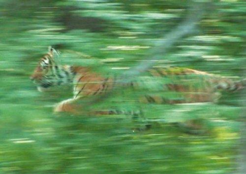В Хабаровском крае выпустили обратно в дикую природу тигра Упорного