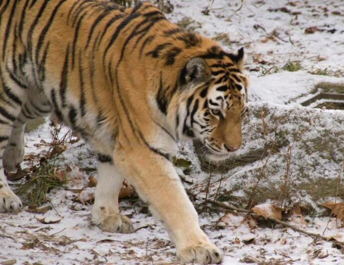 Тигр Упорный, выпущенный в дикую природу, успешно охотится