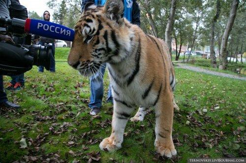 """Тигренок Мир из Украины взят под опеку фондом """"Амурский тигр"""""""