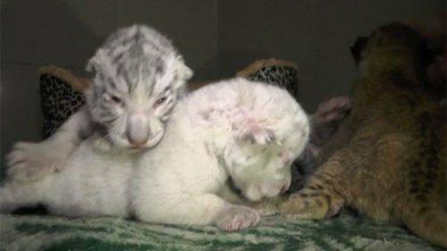 В Ялтинском зоопарке бенгальская тигрица родила трех детенышей
