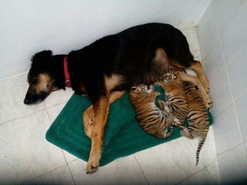 В сочинском зоопарке тигрят выкармливает собака