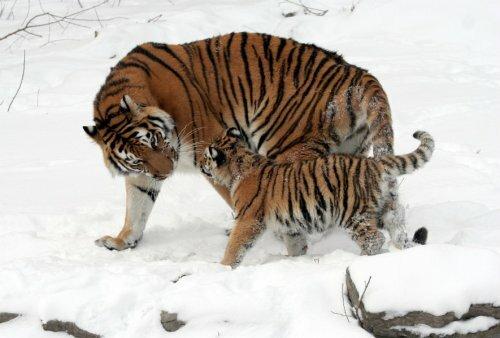 В России для охраны тигров создан национальный парк «Бикин»
