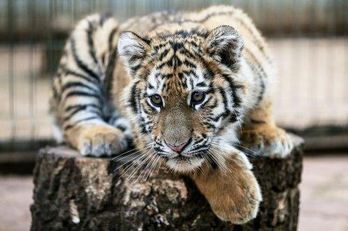Московская полиция взяла шефство над спасенным тигренком Степой