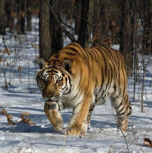 WWF запускает кампанию по спасению амурского тигра