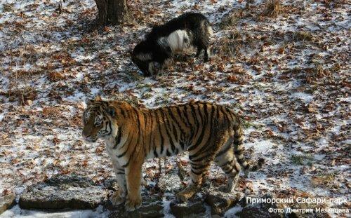 Тигр Амур стал учить козла Тимура охотиться