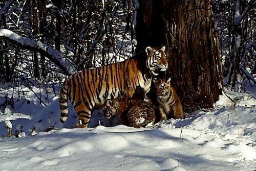 Выпущенная на волю в 2013 году тигрица Золушка стала мамой двух тигрят