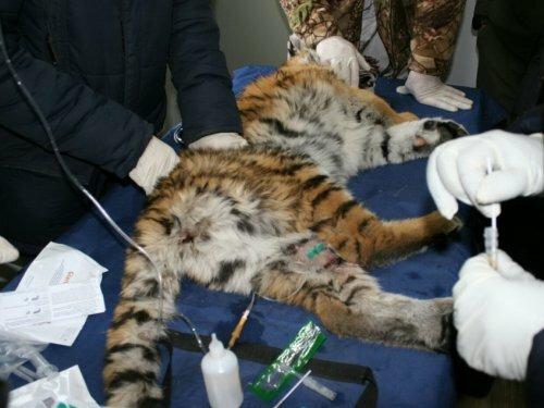 Тигренок, найденный у «Земли леопарда», постепенно идет на поправку