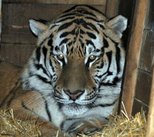 Тигр Устин из Ростовского зоопарка перебрался в открытый вольер