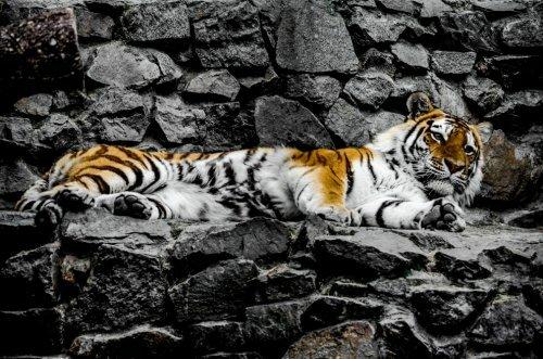 Амурский тигр атаковал охотника в Приморье