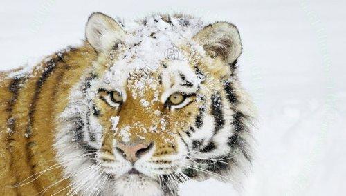 Амурские тигры и медведи заметают следы