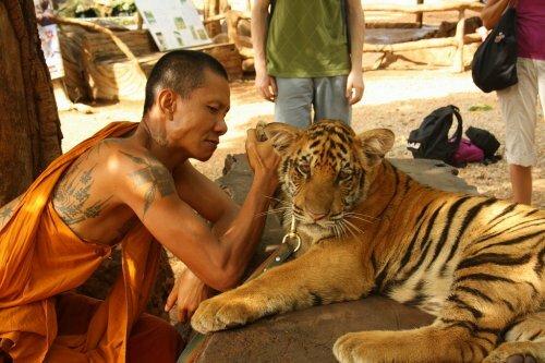 Буддийские монахи занимаются контрабандой тигров