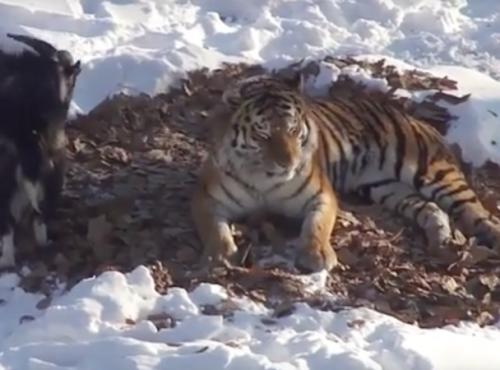 Тигр Амур поссорился с козлом Тимуром