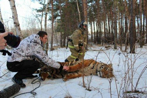 В Воронеже поймали тигра