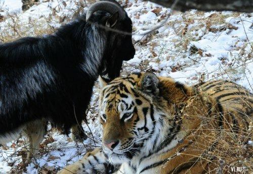 Козел Тимур и тигр Амур расстались