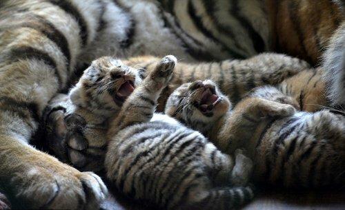 Китайский зоопарк показал четырех недельных амурских тигрят
