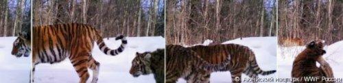 Фотоловушка засняла тигрицу с тремя детенышами в хабаровском национальном парке Анюйский