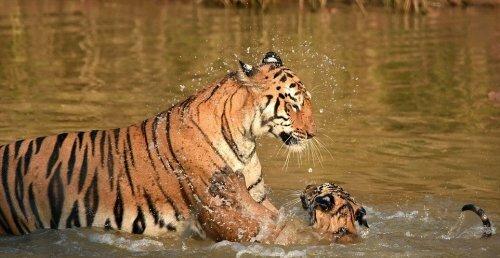 В индийском заповеднике тигрица искупала своего детеныша