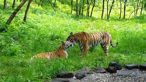 У тигра Амура наступил брачный период: видео