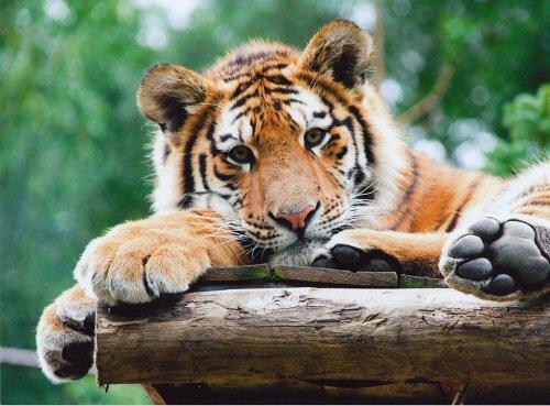 Видео: новорожденные тигрята делают первые шаги