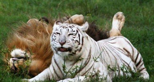Любовь не знает границ: лев и тигрица живут вместе