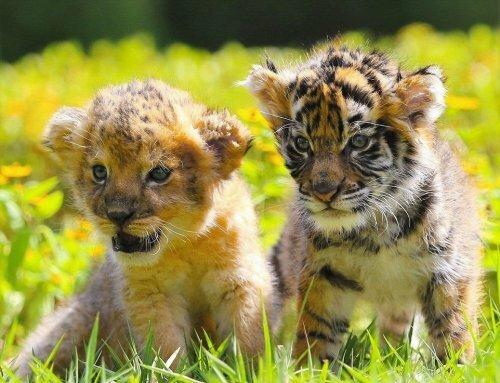 В японском зоопарке подружились львенок и тигренок