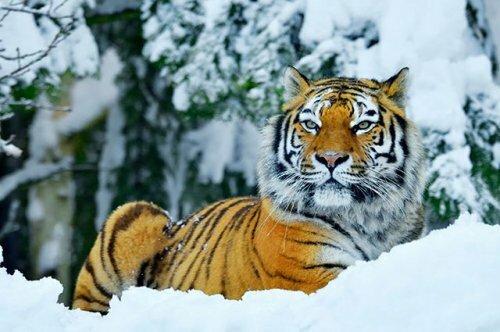 Как в России стараются защитить тигров в дикой природе