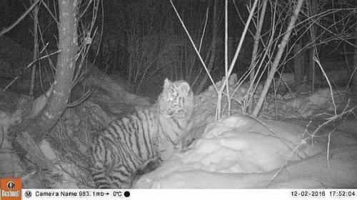 В Центр реабилитации тигров везут тигренка, который две недели гулял без мамы